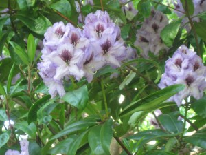 Cool Rhododendron
