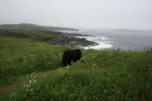 Newfoundland in Newfoundland